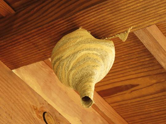 初期のスズメバチの巣