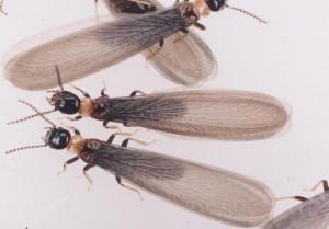 アメリカ 羽アリ