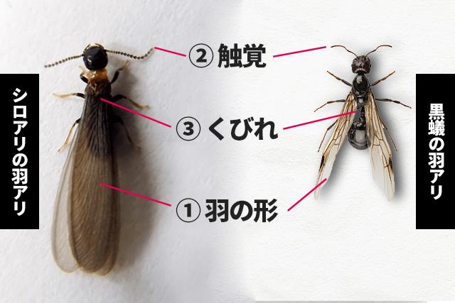 シロアリの羽アリか黒蟻の羽アリか判別する3つのポイント ①羽のかたち ②触覚 ③くびれをチェック