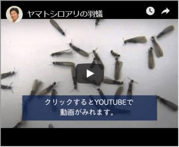 ヤマトシロアリの羽アリ動画