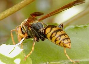アシナガバチの画像 p1_1