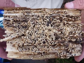 木片に群がる大量のシロアリ