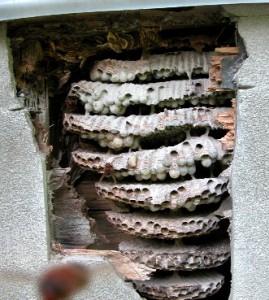 チャイロスズメバチの巣