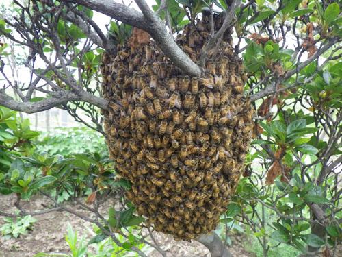 ミツバチ巣1