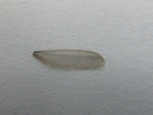 羽アリが落した羽