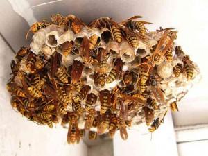 アシナガバチの巣 width=