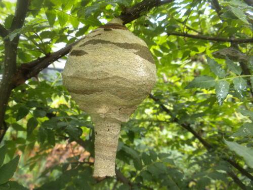 スズメバチ巣 初期
