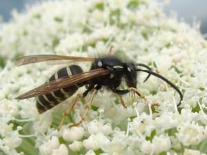 ホオナガスズメバチ