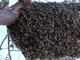 アフリカミツバチ群