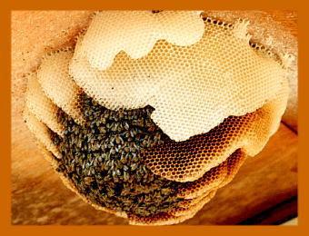 ニホンミツバチ巣