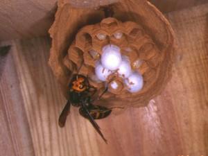 ヒメスズメバチ巣