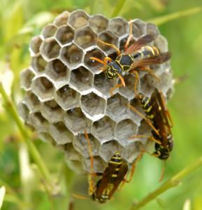 フタモンアシナガバチ巣