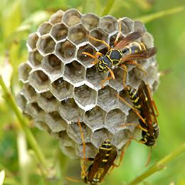 写真あり】アシナガバチの種類と...