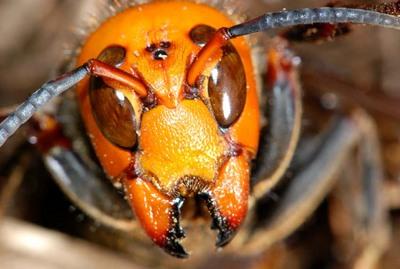 スズメバチ顔