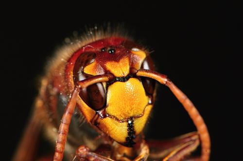 危険で獰猛なスズメバチ!