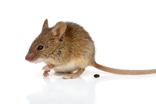 ネズミとフン