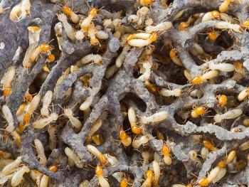 イエシロアリの巣