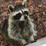 熊本県 アライグマによる被害増加!食痕や足跡による見分け方とは