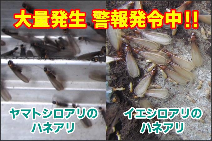 ハネアリ大量発生警報中!ヤマトシロアリとイエシロアリのハネアリ