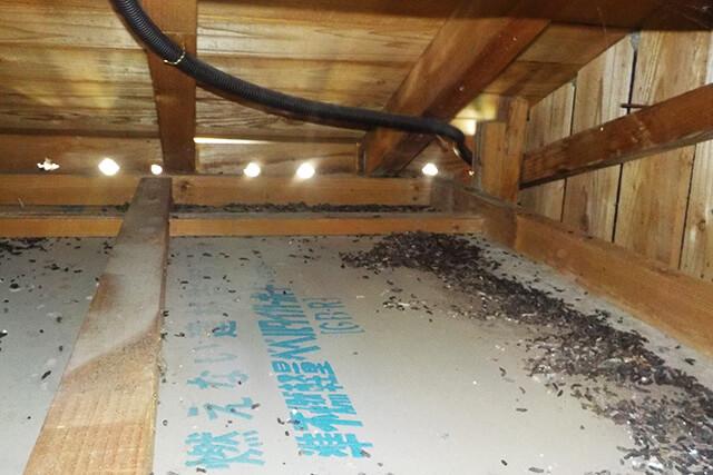 天井裏のコウモリ糞害の様子