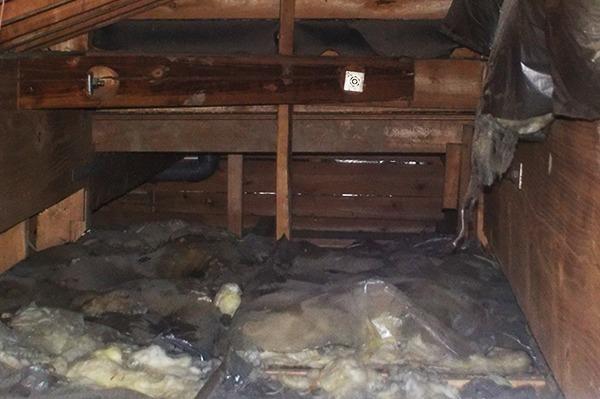天井裏の断熱材はイタチによって荒らされていた