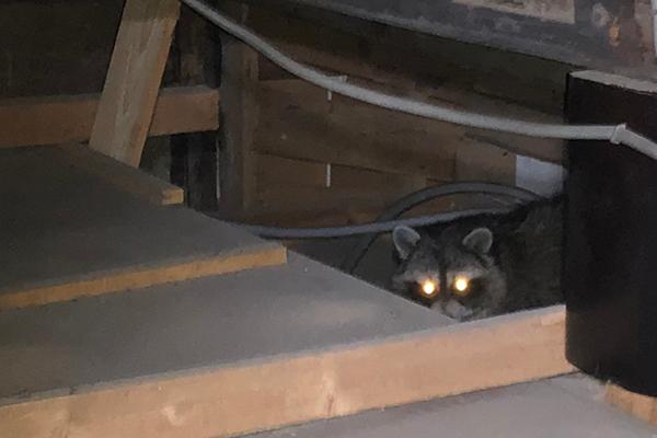 屋根裏に侵入したアライグマ