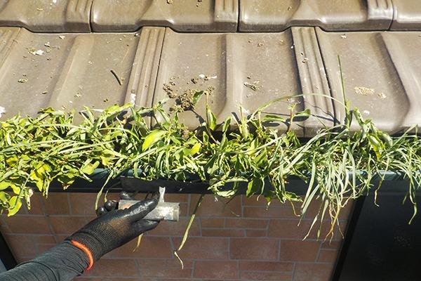 雨樋にたまった鳩のフンが肥やしとなり草が生えている