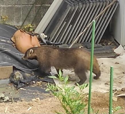 家屋に侵入するアナグマ